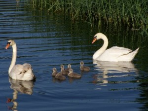 Swans with babies in a pond