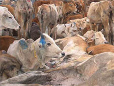 cow slaughter in india